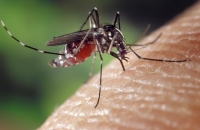 West Nile Positive Mosquitoes Found in St. Catharines and Pelham