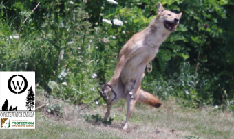 ACTION ALERT: Cambridge Trapping Coyotes