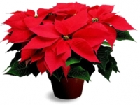 Decorate for the Holiday with Poinsettias and Porch Pots