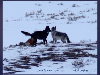 The Impact Of Hunting On Wolves