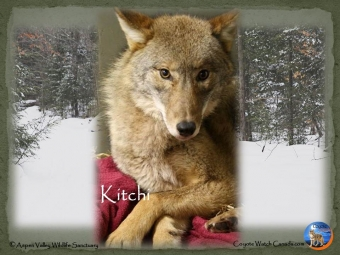 Snared- A Wolf Named Kitchi