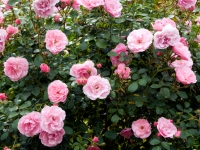 On Growing Roses