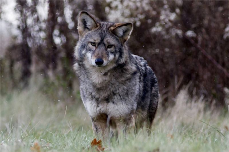 Open Letter: Residents' behaviour is the solution to coyote concerns