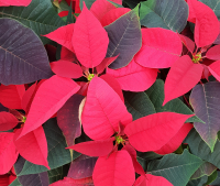 Our Poinsettia Collection