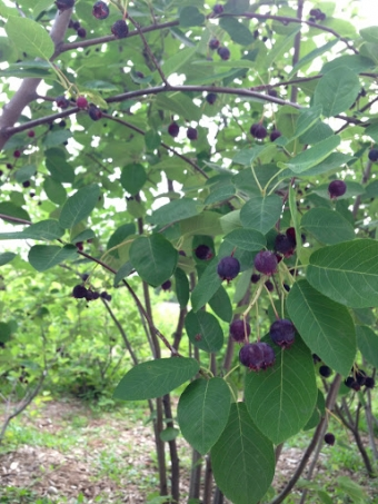Serviceberry galette and insect-borne illness