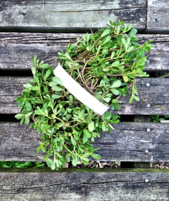 Weeding and Eating: The Great Purslane Giveaway returns