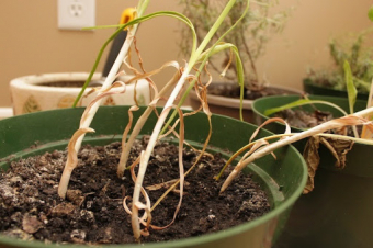 Growing Pains: Growing garlic indoors - Part 3