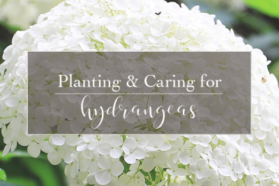 Hydrangeas: Tips for Planting & Caring for Your Type of Hydrangeas  | Gemmell's Garden Centre