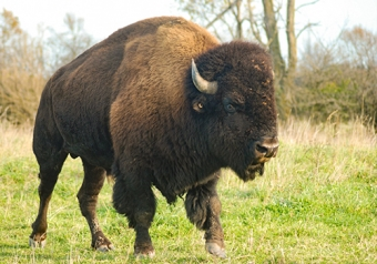 Raising Bison in Uxbridge Ontario