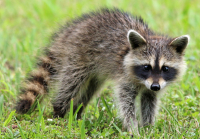 6 Racoons and 4 Skunks Have Tested Positive for Rabies in 2018 in Niagara