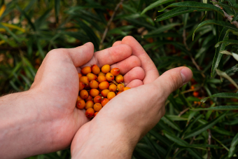 Sea Buckthorn: The ultimate super food
