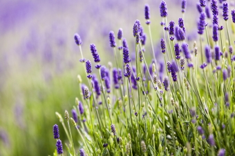 Vauxhall Grown: Lavender
