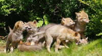 Coyote Families in the Wild