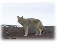 Wildlife Services Senseless Coyote War by Rick Lamplugh