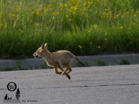 Coyote Barks Go Unanswered