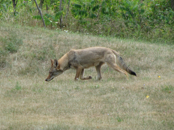 Open letter: Co-existing with Mississauga's wildlife