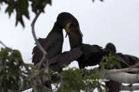 Double-crested Cormorants: Marked for death by shoddy science, shallow ethics