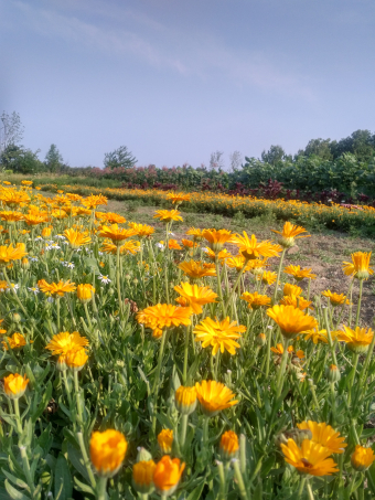 Vauxhall Grown: Calendula