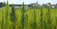 CBD Products, Hemp Production Now Legal In Texas