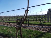 BC Winter Grape Bud Hardiness results for Early April