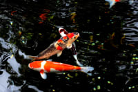 Pond Fish That Will Benefit Your Garden Pond