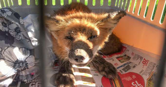 CWC joins successful fox rescue mission in Erin