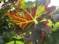 A Virus Scouting and Vine Rogueing Program in Lodi Vineyards