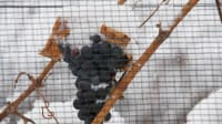 BC Grape Hardiness for Early November