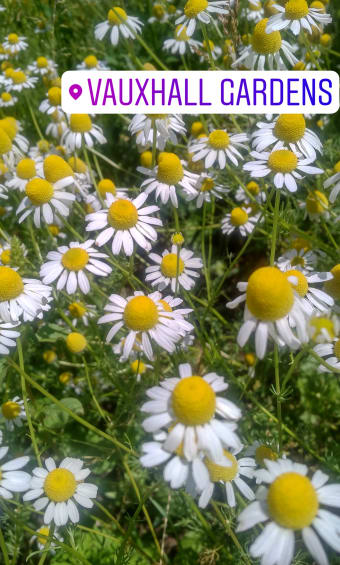 the chamomile diaries
