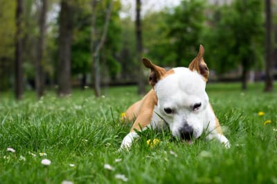Why does my dog keep eating grass? Is my dog poisoned?