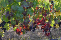 $163 billion grape industry at risk due to spread of grapevine red blotch virus with no known treatment