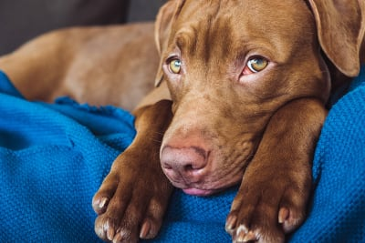 Preventing Heartworm Disease in Pets