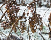 Nova Scotia Wine grape bud hardiness - Early February 2020