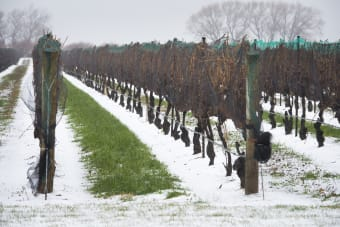 BC Grape Hardiness for Mid February