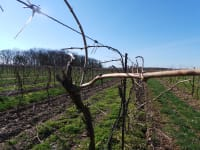 Nova Scotia Wine grape bud hardiness - Early March 2019