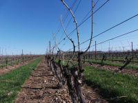 Nova Scotia Wine grape bud hardiness - Early April 2019