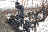 Nova Scotia Wine grape bud hardiness - Early January 2020