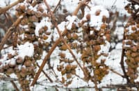 Deep Freeze: perspective, wine grape bud viability assessment and lessons learned