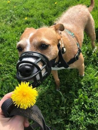 Breaking the Stereotype: Positive Basket Muzzle Training