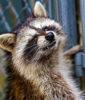 Local Concerns for Dogs and Raccoons with Distemper