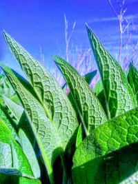 the comfort of comfrey
