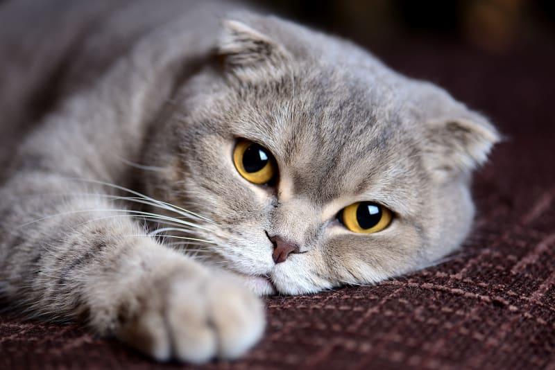 Best Breeds For Indoor House Cats Memphis Emergency Vet