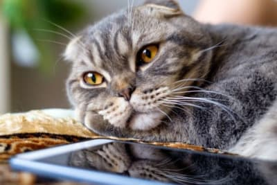 6 Best Breeds for Indoor Cats