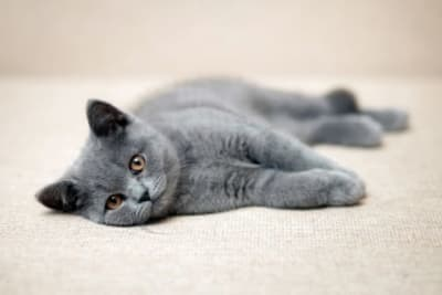 Best Indoor Cat Breeds