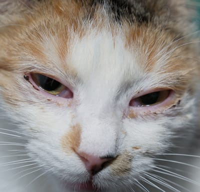 Help! I think my cat has an eye infection.