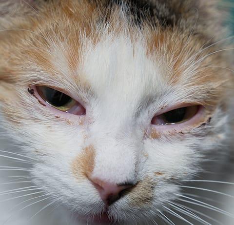 Help I Think My Cat Has An Eye Infection Charlotte Vet Carolina Veterinary Specialists
