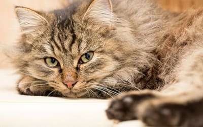 Cat Diabetes Symptoms & Treatments