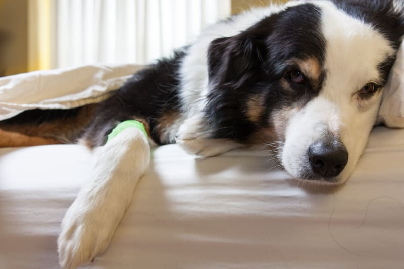 ACL Injuries & Surgeries in Dogs