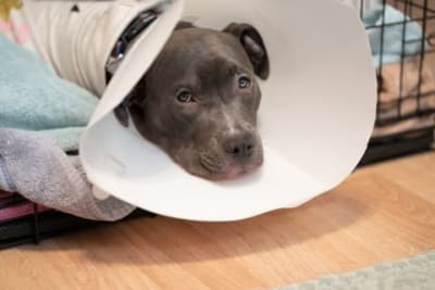 How can I manage my dog's pain after neutering?