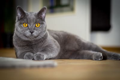 Hernias in Cats - Types, Symptoms & Treatments